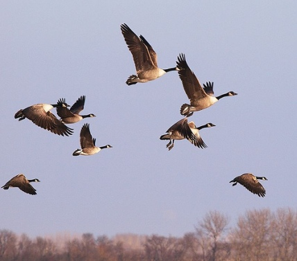 Canadian geese have recently been seen migrating east instead of south for the winter. Unfortunately, the direction they are headed is putting at risk of starvation in the frozen interior of Canada. They should be flying to the south to feed and live