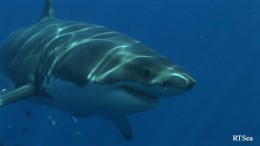Predatory species like sharks are also at risk as they follow confused migratory species that have lost their bearings. Sharks are already at risk.