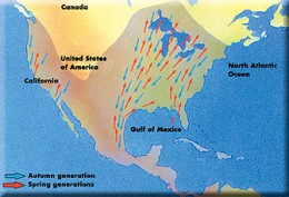 The Monarch butterfly migrates a vast distance for its size, A major part of the migration is over open water and geomagnetic chaos threatens them as a result.