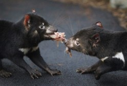 Tasmanian Devils are one of the many endangered Australian animals.