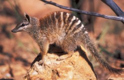 The Numbat is a member of the ant eater family.