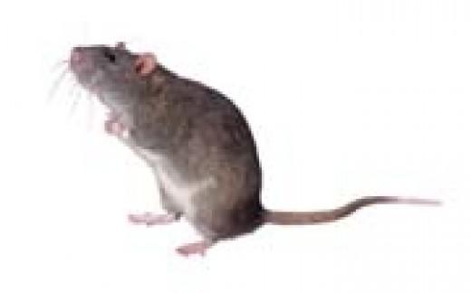 Ugly Rat