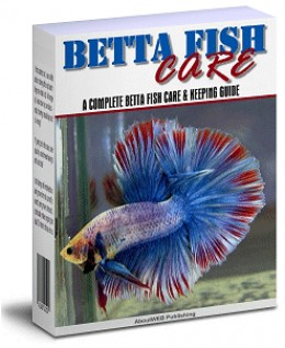 Betta fish care page 175 for How big can a betta fish get