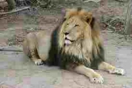 The Barbary Lion.  Last one shot about 1920, but lineage doubtfully preserved in some zoos.