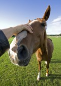 Horse Therapy for Alcoholics - EAP as Addiction Treatment