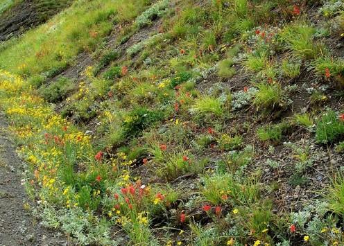 Flowers along roadside on drive to Hurricane Ridge.  Olympic National Park.  Washington.