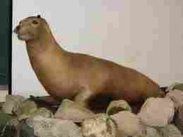Japanese Sea Lion.  Another magnificent creature lost to us (and itself)