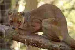 A Madagascar Fossa.  The Giant of the species is long gone