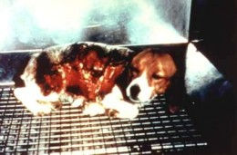 Beagle being subjected to cruel skin toxicity testing. His skin is blistered and burned. Thanks to Proctor & Gamble.