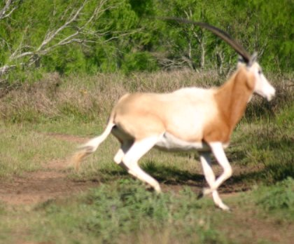 The scimitar horned oryx