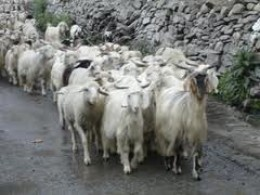 Which are sheep and which are goats?