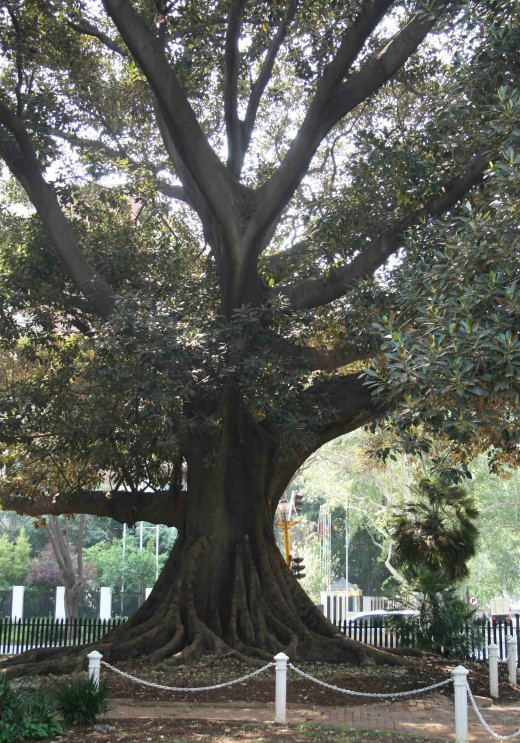 One of the large trees in the park.