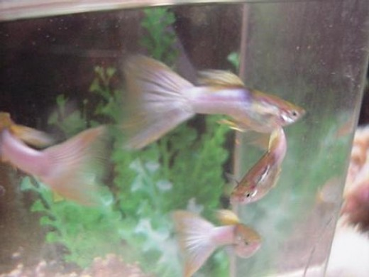 Rangesi have one ofhow long Guppiesnov , angels betas Guppies