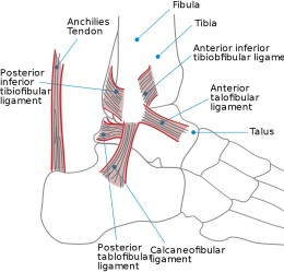 An introduction to the anatomical world of the ankle joint - Picture: Wikicommons