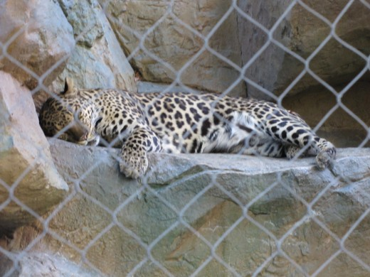 Leopard in the Garden.  A short nap before feeding time.
