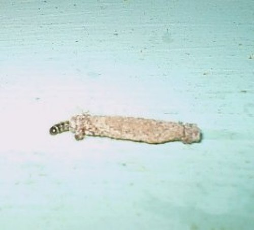 Case-making Clothes Moth caterpillar