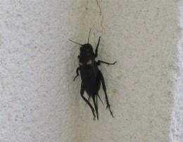 Female Field Cricket