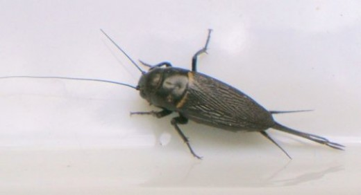 Female Field Cricket