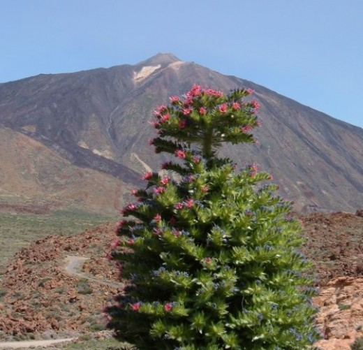 Red Viper's Bugloss and Mt Teide