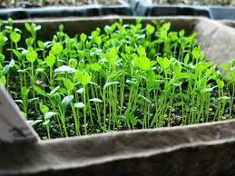 Seedlings in a seed tray
