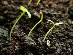 Seeds with seedling leaf