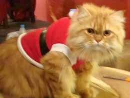 Here's my very spoiled cat who looks forward to a new Christmas stocking and a large Santa suit this year.