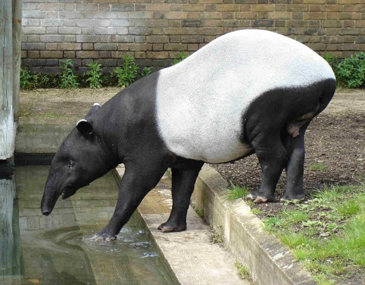 Malayan Tapir in London Zoo. Photo by Bluemoose