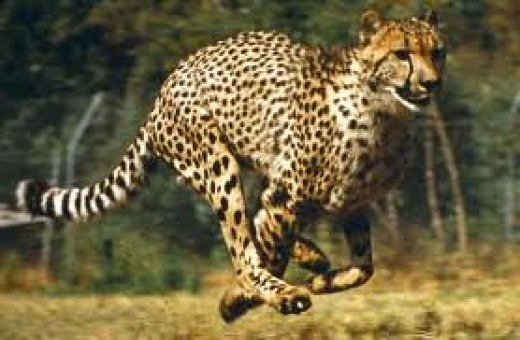 See if you can run fast enough to catch up with this cheetah.