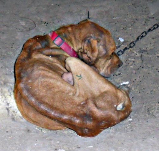 Yuma dog starved to death by owner