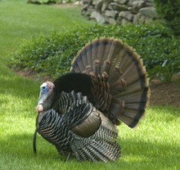 Turkeys are best known for their large size and fan-like tail.