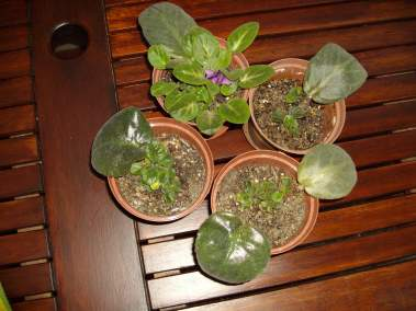African Violet Leaves Beginning To Sprout