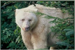 The Spirit Bear Of Princess Royal Island