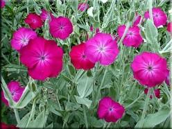 Troublesome Garden Ornamentals- Tough or Invasive?