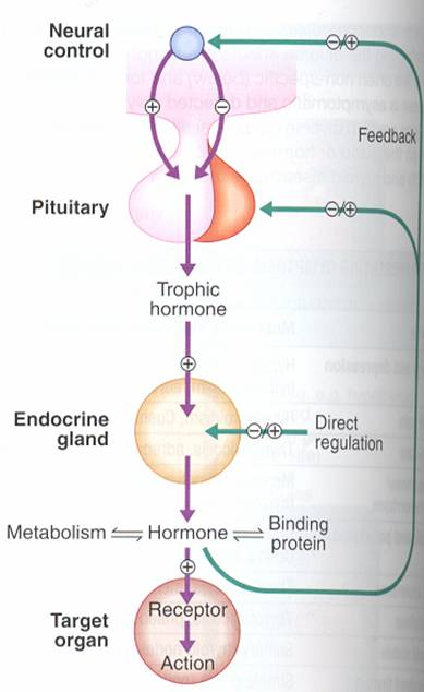Hormone secretion  delivery to target cells  hormone recognition by receptors in target cells  biologic effect  hormone degradation  signal from target cells to slop further hormone secretion .