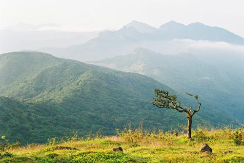 Lonely, wind battered tree at Reverstan peak - Knuckles mountain range