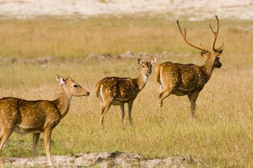 A family of Sri Lanka deer - Vilpattu National Park