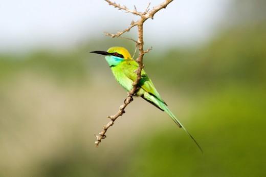 Green Bee-eater - Vilpattu National Park