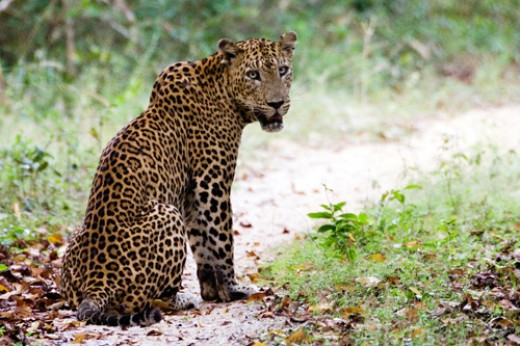 A Leopard sitting on a jeep track - Vilpattu National Park