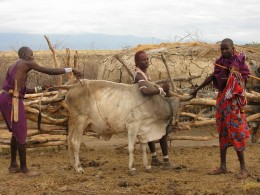 Maasai men injecting a cow with a vaccine.