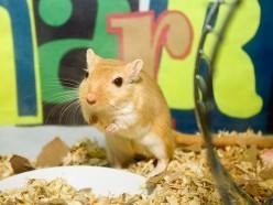 Gerbils: The Best Small Pet