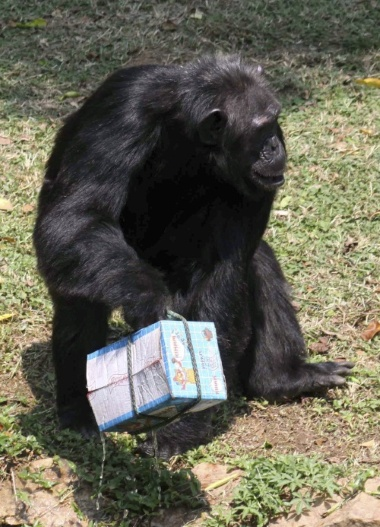 Endangered species facts:  The Chimpanzee is the only mammal, other than humans, to use tools.