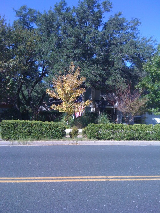 2010 - Last year, this tree was a brilliant yellow color. This year, we see a more subdued shade of yellow.