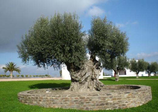 Several centuries old olive tree at the Esporo estate in Reguengos de Monsaraz - Alentejo - Portugal