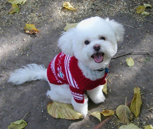 A Christmas dog sweater can be both festive and functional.