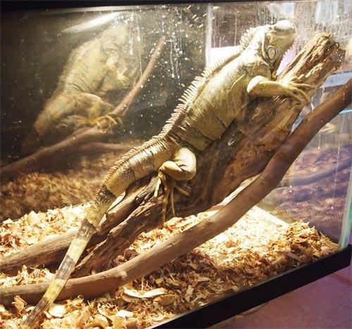 1 of 3 iguanas at the facility