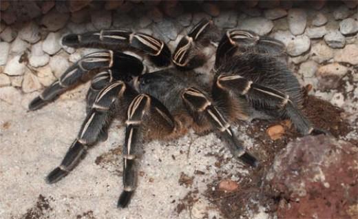 Costa Rica Zebra Tarantula