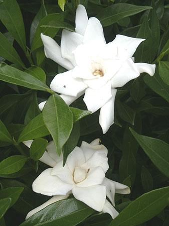 Fragrant Gardenia