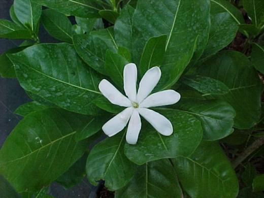 star-flowered fragrant Gardenia