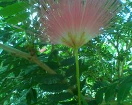 """Pretty pink """"Powder Puff"""" flower in the Orangerie"""