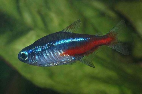 The gallery for --> Neon Tetra Fish Pregnant